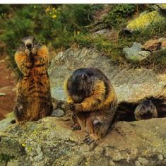 Carte postala tematica - Carte postala ilustrata FAUNA - Animale salbatice - rozatoare - marmota