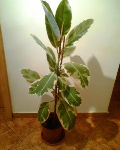 Plante decorative ficus belize okazii 29829484 Plante decorative
