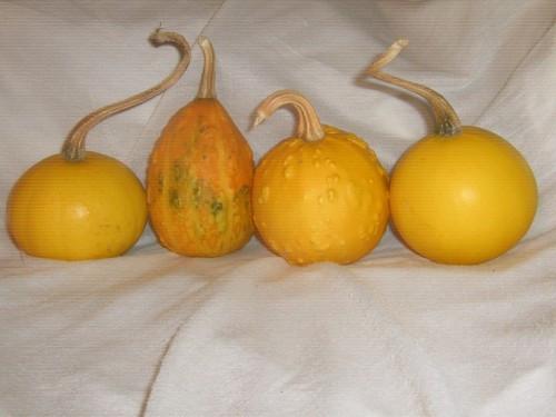 Vand tartacute - (Coccinia indica) - Dovleac decorativ foto mare
