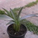 Vand pui de agava