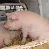 Porc de vanzare in jur de 200 kg - Rase porci