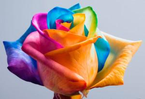Seminte de trandafir CURCUBEU foto