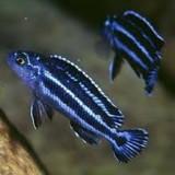 VAND CICLIDE AFRICANE-MELANOCHROMIS MAINGANO - Specii pesti, Cichlidae