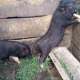 Purcei vietnamezi - masculi .... - Rase porci
