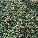 Flori - Panselute