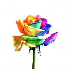 SEMINTE Rainbow_TRANDAFIRI CURCUBEU 100buc- 25 DE LEI, Multicolori