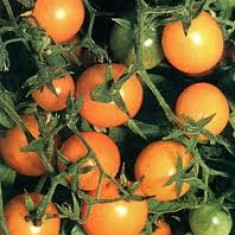 Seminte de rosii - Seminte rosii cherry