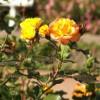 Trandafiri - Trandafir Pepito
