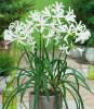 Flori - Nerine bowdenii / bulbi cu 6 Ron bucata