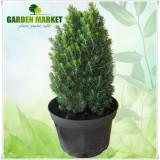 """Plante ornamentale - Picea glauca """"Piccolo"""""""