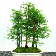 10 seminte Metasequoia Perennial Bonsai Dawn Redwood