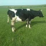 Animale - Vind vaca de lapte