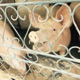 Rase porci - Porci rasa landras