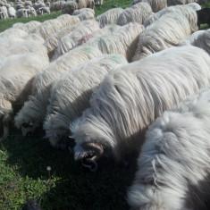 Oi/capre - Vând oi cu miei!