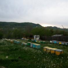Apicultura - Vand stupi cu familii de albine