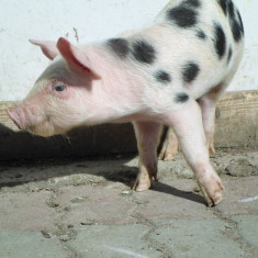 Rase porci - Vand purcei