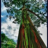 SeMinte rare de Eucalipt Curcubeu - Eucaliptus deglupta -7 seminte pt semanat