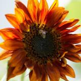 Seminte de floarea soarelui decorativa Velvet Queen, plicuri de 2.5 g
