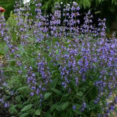 Salvia officinalis super oferta