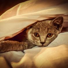 Vand URGENT motan- British Shorthair - Pisica