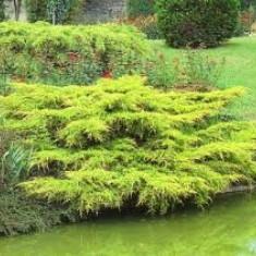 Juniperus pf Pfitzeriana Aurea - ienupar