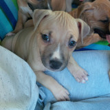 AMSTAFF - American Staffordshire Terrier - 2 luni - Bucuresti - Caine, Gen: Femela