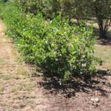 Aronia melanocarpa Hugin - aronia