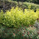 Cornus alba Aurea - corn decorativ galben