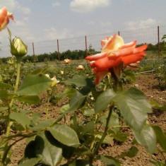 Floarea Printesa Pharah de vanzare - Trandafir