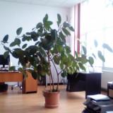 Ficus foarte frumos