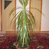 Plante ornamentale - Vand dracena 1.5 m