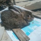 Vand iepuri de rasa ( marele belgian)