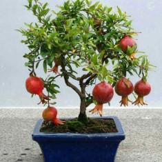 Pomi fructiferi - Pom fructifer pitic de Rodiu - Punica granatum Dwarf - 1 pom deja productiv
