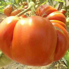 Seminte de rosii uriase.