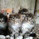 Vand pisici main coon