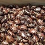 Vand 50 seminte de ricin rosu(planta luxurianta, ornamentala si medicinala)