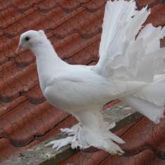 Porumbei Voltati Indieni