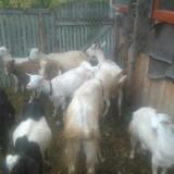 Vand tap si capre. - Oi/capre